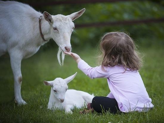 Малоимущим сельским семьям Карелии хотят помогать рогатым скотом
