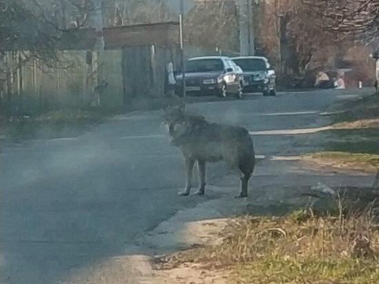 В Подмосковье волк напал на школьника, пострадавший госпитализирован