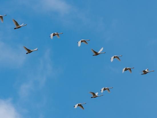 За несколько дней сильного ветра, в Хакасию прилетели лебеди