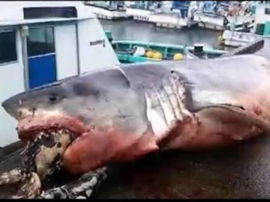 У берегов Японии нашли сверхкрупную белую акулу с черепахой в зубах