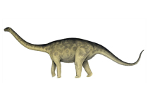 Группа исследователей из Австралии пришла к выводу, что динозавры вида Rhoetosaurus brownei, одни из крупнейших сухопутных животных в истории планеты, всю жизнь ходили, опираясь на кончики пальцев конечностей — то есть, в некотором смысле, «на цыпочках»