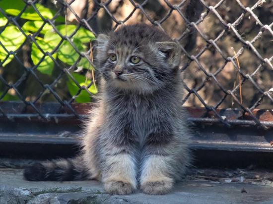 В новосибирском зоопарке отметили День манула