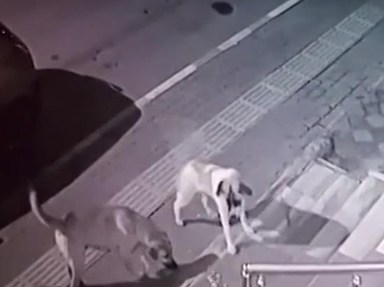 Камеры засняли победу кота над стаей бродячих собак