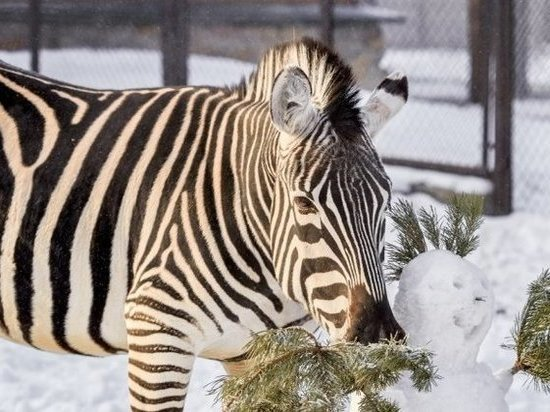 В челябинском зоопарке посетители пытались накормить зебр котлетами, а в лис швыряли чипсами