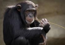 Свыше полутора миллионов пользователей соцсетей посмотрели необычное видео, на котором обезьяна просматривает посты в инcтаграме, пролистывая ленту и выбирая понравившиеся видео