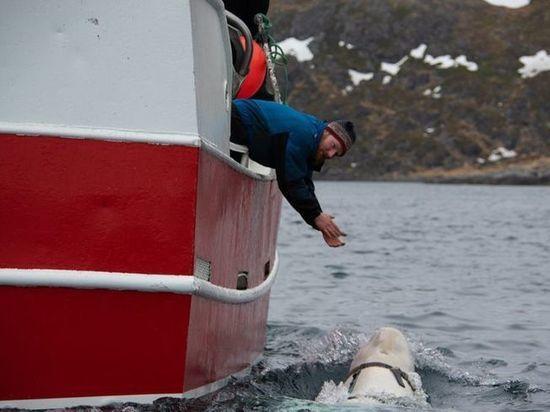 По мнению ученых, китообразное могли приручить в ВМФ РФ