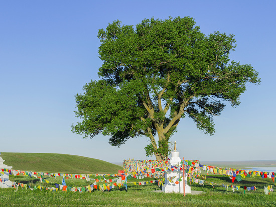 Одинокий тополь в Калмыкии может победить в конкурсе главных деревьев страны