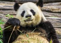Содержание двух панд в Московском зоопарке обойдется городу в кругленькую сумму
