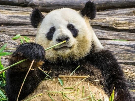 Дипломатический жест: Московский зоопарк заплатит $40 млн за содержание панд
