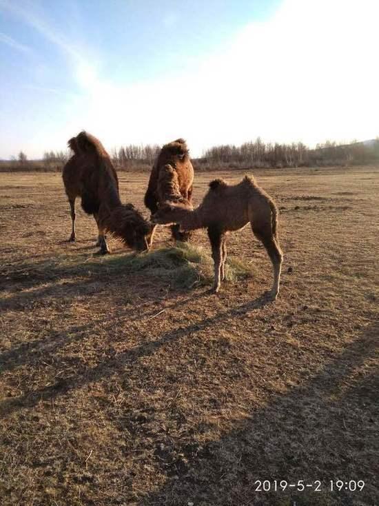 В этнокомплексе в Бурятии наконец придумали имя верблюжонку