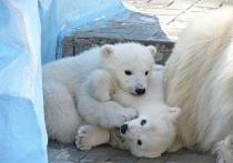 Новосибирцы выбирают имена для белых медвежат