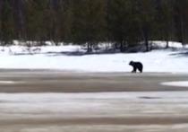 Рыбаки засняли медведя под Ноябрьском