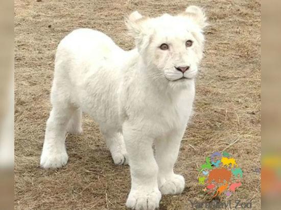 Львицу Лавину в Ярославском зоопарке убрали с глаз долой