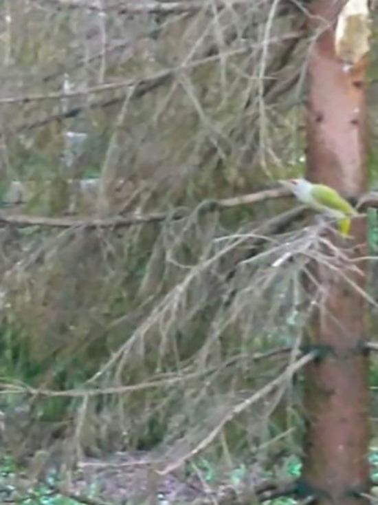В Уфе заметили зеленого дятла