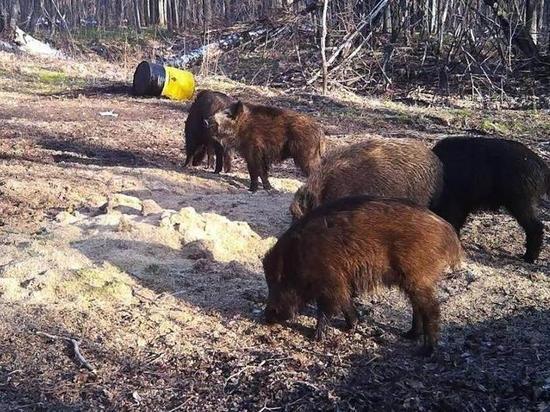 Охота на кабана открывается в Ульяновской области с 1 июня