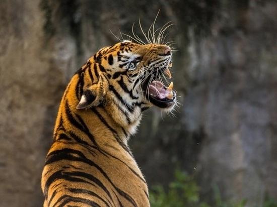 Тигрицу Тайгу передадут в дар Приморью