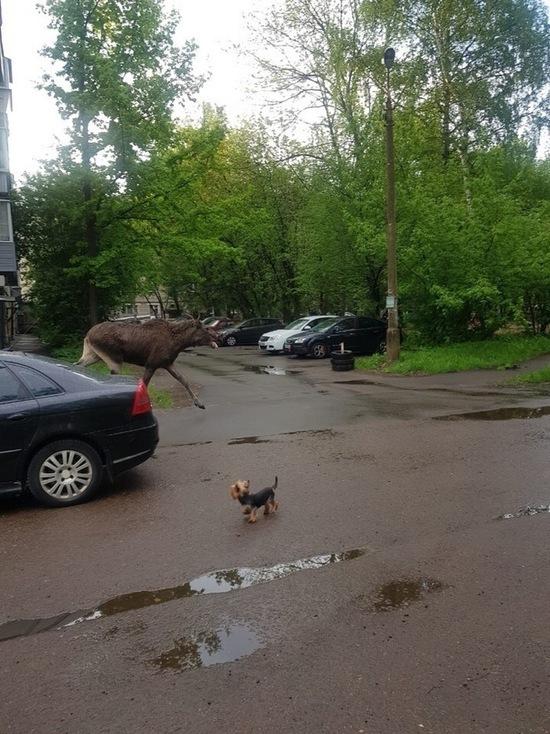 На окраине Ярославля гуляют лоси
