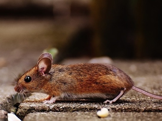 Спасти мир от депрессии: рыжие мыши помогут в этом