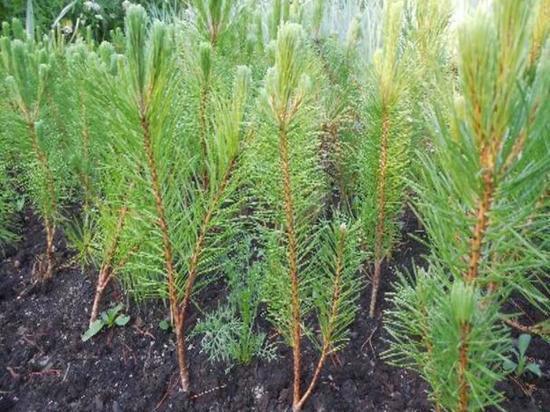В Абаканском парке культуры и отдыха посадят более 300 сосен