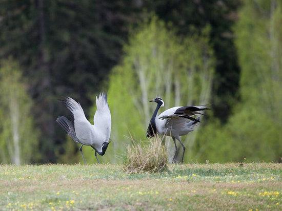 Самцы журавлей – красавок танцуют для своих избранниц на озере Беле