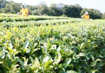 Зелёный чай из Сочи привёз «золото» с чайной выставки в Шанхае