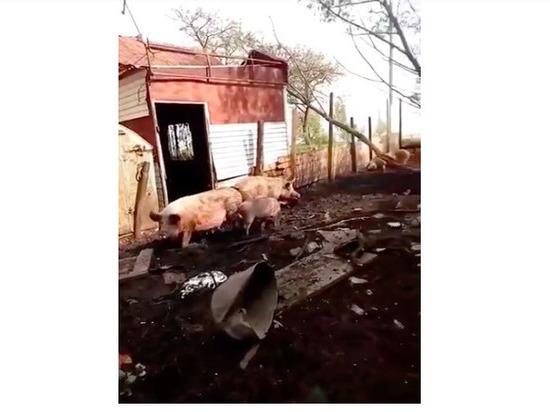 Плавские свиньи терроризируют местных жителей