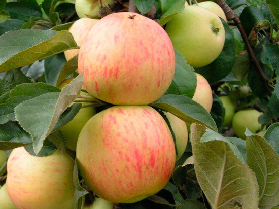 В регионе открыт первый промышленный плодово-ягодный питомник