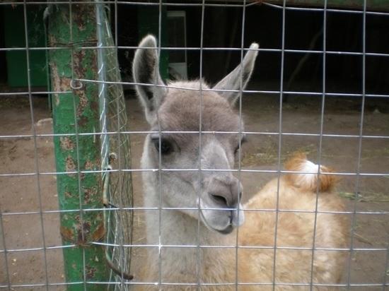 В Ярославский зоопарк купил еще одну лама