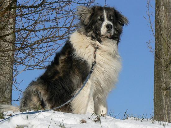 Главный кинолог России назвал лучшие породы собак-охранников