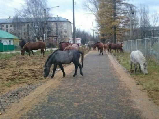 В Аше автомобилисты не могут проехать из-за гуляющих по улицам коров и свиней
