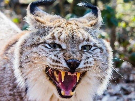 В Хабаровске поймали дикую рысь
