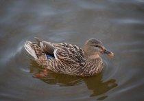На Ямале стартовал сезон охоты на водоплавающую дичь
