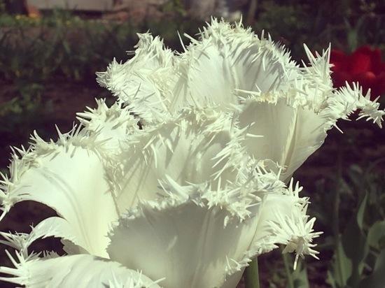 Туляки запустили тюльпановый флешмоб