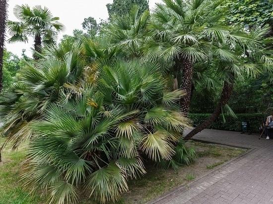 Ученые разработают препарат для спасения крымских пальм от насекомых