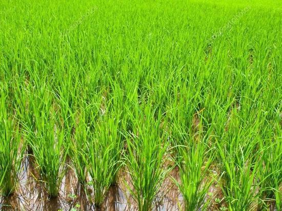Калмыцкие рисоводы намерены повторить прошлогодний рекорд