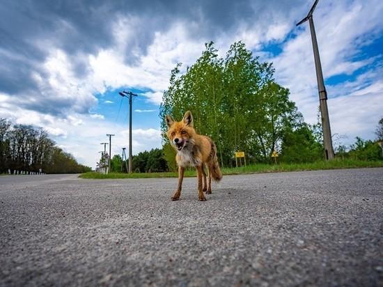 В Сети появилось фото голодного лисенка из-под Чернобыля