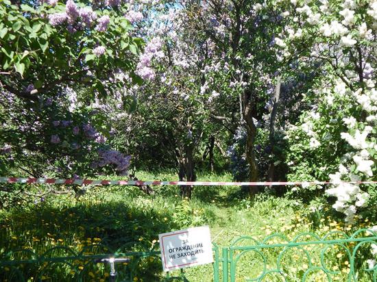 Вандалы изуродовали цветущие кусты в сиреневом саду Москвы