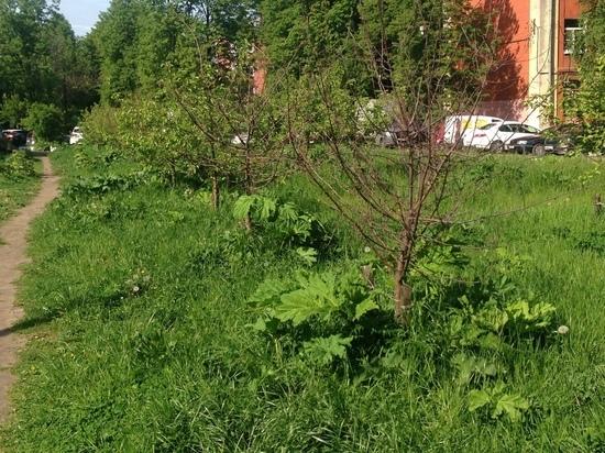В центре Ярославля вырастили не сад, а борщевик