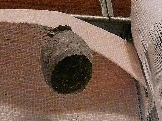 Оса построила гнездо на кухне московской пенсионерки