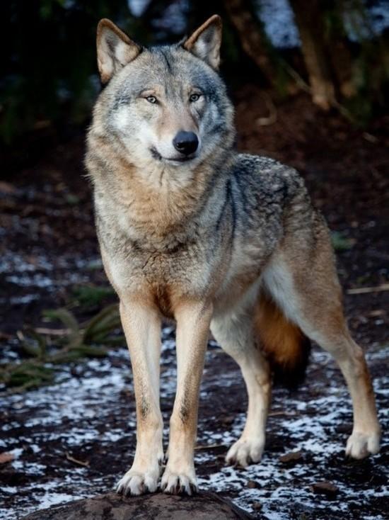 Волки и африканская чума: как ветслужба решает проблемы Крыма