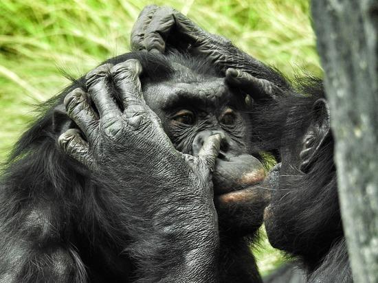 Секретом репродуктивного успеха бонобо оказалась материнская поддержка
