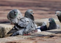 Во Владикавказе женщина прилюдно обезглавила голубя и ощипала его