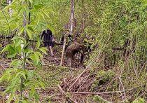 Сохатый напоролся на точеные пики в кузбасском лесу
