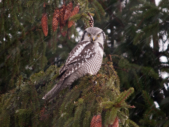 В Ярославской области поселились финские совы