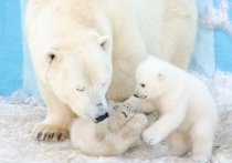 Белых медвежат в Новосибирском зоопарке назвали Норди и Шайна