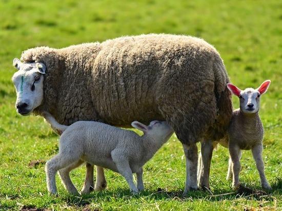 Ученые Ставрополья и Сколково  улучшают генетику российских пород овец