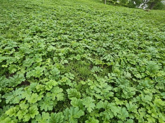 Пашня на севере Нижегородской области зарастает сорняком
