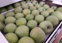 Почти 300 кг запрещенных к ввозу в Россию яблок уничтожили в Ижевске