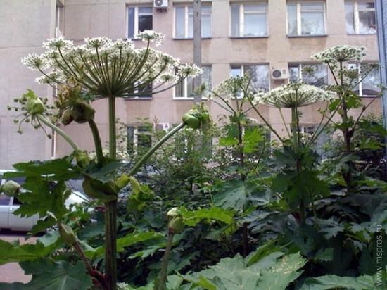 Ответственным за борьбу с борщевиком в Ярославле будет САХ