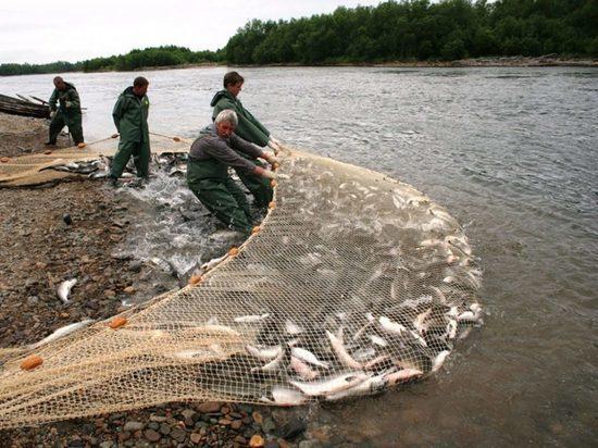 Легальные рыбаки убирают конкурентов с камчатских рек